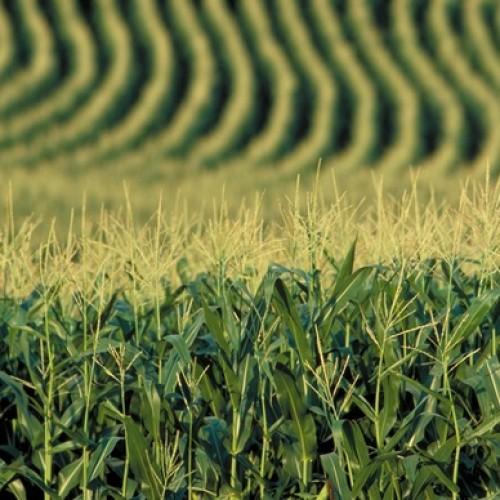 Spadek areału zasiewów kukurydzy