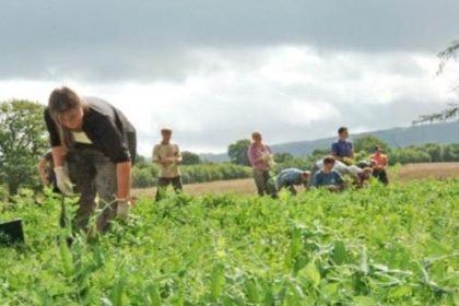 Nowy typ umów dla pomocników sezonowych przy zbiorach. Może zlikwidować szarą strefę w rolnictwie